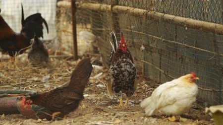 free range : chicken in farm