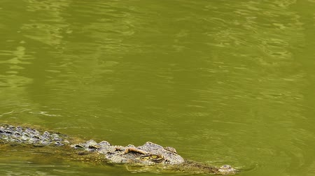 crocodilo : crocodile swimming in the water