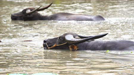 корова : panning shot of water buffalo is playing and swimming in the pond