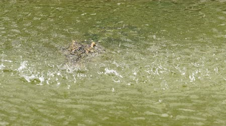crocodilo : crocodile floating with water drop
