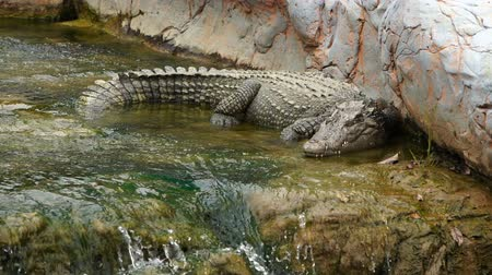 crocodilo : crocodile sleeping on rock with water