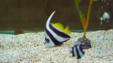 ploutve : Schooling Bannerfish (Heniochus diphreutes) in water