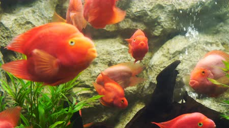 fish eye : red blood parrot fish in water