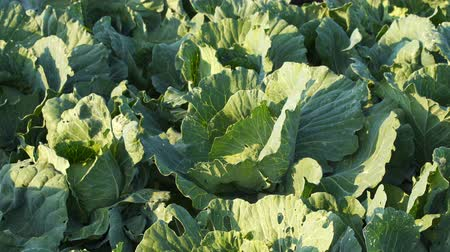 kool : fresh big cabbage with wind blow in farm