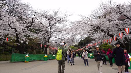 nisan : TOKYO, JAPAN - MARCH 29, 2019: Cherry blossom festival at Ueno Park. Ueno Park is one of the best place to enjoy it