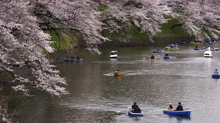 chidorigafuchi : TOKYO, JAPAN - MARCH 29, 2019: Cherry blossom festival at Chidorigafuchi Park. Chidorigafuchi Park is one of the best place to enjoy it