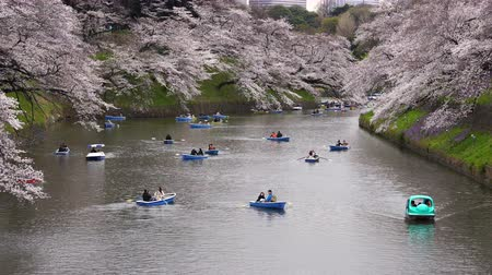 cerejeira : TOKYO, JAPAN - MARCH 29, 2019: Cherry blossom festival at Chidorigafuchi Park. Chidorigafuchi Park is one of the best place to enjoy it