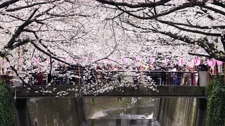 waterways : TOKYO, JAPAN - MARCH 29, 2019: Cherry blossom festival in full bloom at Meguro River . Meguro River is one of the best place to enjoy it Stock Footage