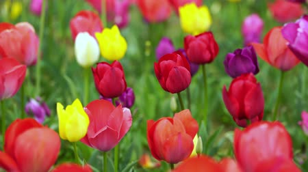 explodindo : colorful tulips bloom in the garden Stock Footage