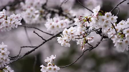nisan : beautiful Sakura, Cherry Blossom flower in spring season