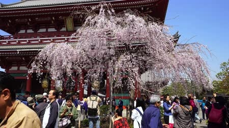 senso ji : TOKYO, JAPAN - March 27, 2019: Spring cherry blossoms at Sensoji Temples Hozomon Gate with unidentified tourist, Tokyo, Japan
