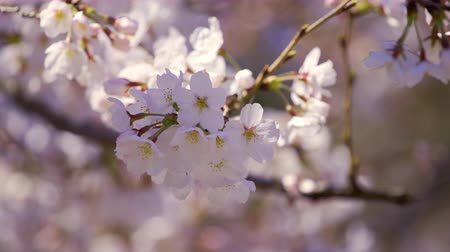 Вишневое дерево : beautiful Sakura, Cherry Blossom flower in spring season