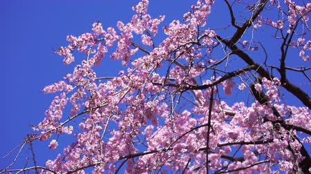 oriental cherry tree : beautiful Sakura, Cherry Blossom flower in spring season