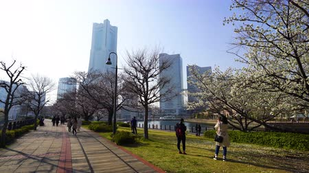 yaya : YOKOHAMA, JAPAN - March 26, 2019: Unidentified people visit cherry blossom at Kishamichi Promenade in Minato Mirai, Yokohama, Japan Stok Video
