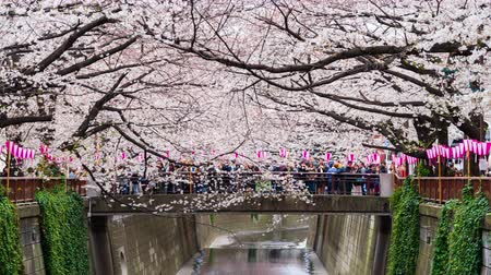 blooming time lapse : time lapse of Cherry blossom festival in full bloom at Meguro River, Tokyo, Japan Stock Footage