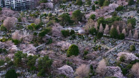 кладбище : time lapse of cherry blossom in Aoyama cemetery in Tokyo, Japan