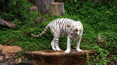 panthers : white bengal tiger walking in the forest