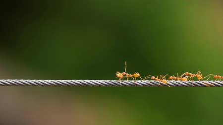 ant : red ant colony walking across the wire Stock Footage