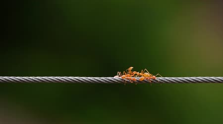 farpado : red ant colony walking across the wire Stock Footage