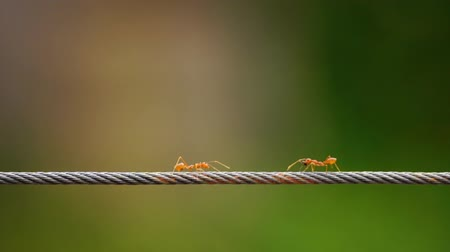 farpa : red ant colony walking across the wire Stock Footage