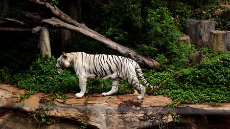 panther : slow-motion of white bengal tiger walking in the forest