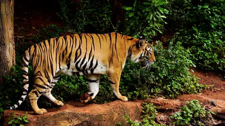 panthers : slow-motion of bengal tiger walking in the forest