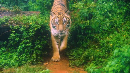 panter : slow-motion of bengal tiger walking in the forest