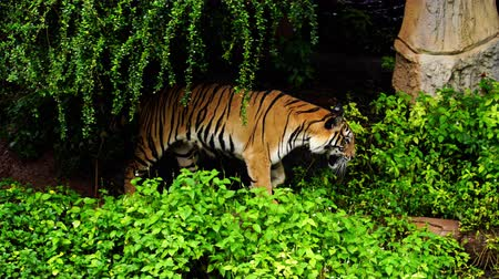 panter : bengal tiger walking in the forest Stok Video