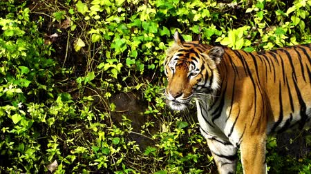 гул : slow-motion of bengal tiger roaring