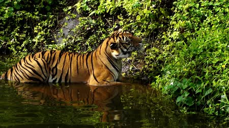feroz : slow-motion of bengal tiger playing water in pond Vídeos