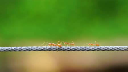 yaban hayatı : red ant colony walking across the wire Stok Video
