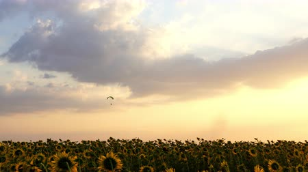 hang gliding : Paraglider flying against a sky over sunflower field at sunset