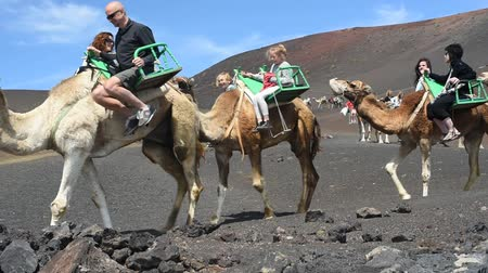wielbłąd : Lanzarote, Canary Islands, Spain - March 29, 2015: Excursions on camels in Timanfaya National Park, Canary Islands Wideo