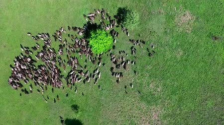 cordeiro : flock of sheep grazing on spring green field, top view