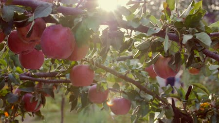 brilhantemente : Ripe Beautiful red Apples Hang on the Apple Tree, Bright Sunlight and Light and Wind Play with Leaves and Fruit. Concept of Healthy Eating. Apple Trees with Red Apples.