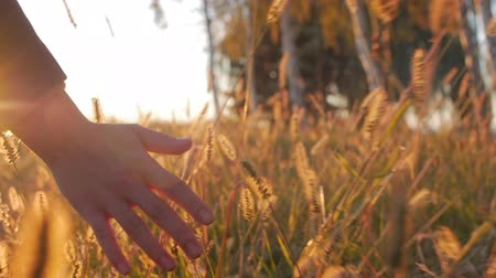 kırsal ekonomi : Female Farmer Hand Touching Touching Grass, Wheat, Corn Agriculture on the Field Against a Beautiful Sunset. Steadicam Shot. Farming, Autumn Concept. Slow Motion
