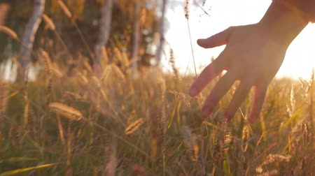 rijst : Female Farmer Hand Touching Touching Grass, Wheat, Corn Agriculture on the Field Against a Beautiful Sunset. Steadicam Shot. Farming, Autumn Concept. Slow Motion