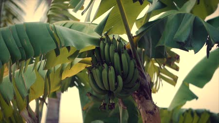 vaha : A Look at the Palm Tree at Dawn. Bananas ripen on a palm tree