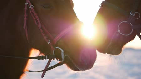Two Beautiful Horses Posing for the Camera, a Horse With a Rider in the Winter at Sunset, Close-Up. Slow Motion. Shooting on Steadicam, the Concept of Wild Nature.