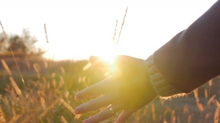 Female Farmer Hand Touching Touching Grass, Wheat, Corn Agriculture on the Field Against a Beautiful Sunset. Steadicam Shot. Farming, Autumn.