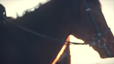 aro : Beautiful Horse Posing for the Camera, a Horse With a Rider in the Winter at Sunset, Close-Up. Slow Motion. Shooting on Steadicam, the Concept of Wild Nature.