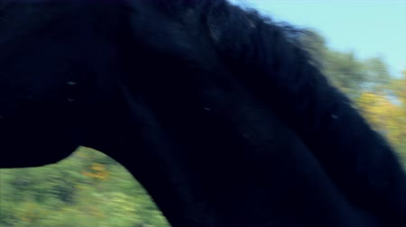 rider : Young Stallion, Elegant Thoroughbred. Dark brown horse after castration runs around the enclosure, screaming.