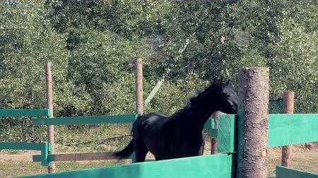 égua : Young Stallion, Elegant Thoroughbred. Dark brown horse after castration, running around the aviary. Animal Care. Concept Summer of Horses and People.