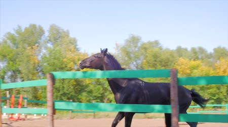 копытное : Young Stallion, Elegant Thoroughbred. Dark brown horse after castration, running around the aviary. Animal Care. Concept Summer of Horses and People.
