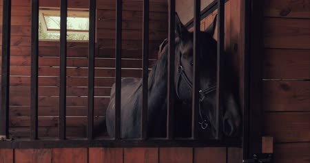 galoppo : Beautiful thoroughbred horse is in the stable behind a metal bars looking into the camera. Animal care. The concept of horses and people.
