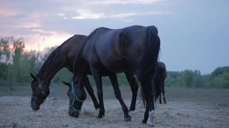égua : Beautiful thoroughbred horses graze in the meadow, eat grass. Animal care. Concept of horses and people. Vídeos