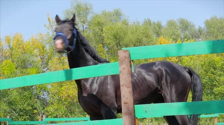 castração : Young Stallion, Elegant Thoroughbred Horse. Dark Drown horse running in the aviary. Animal Care. Concept Summer of Horses and People.