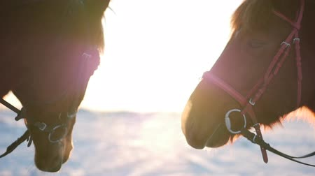 跳ね : Stallion with a Mare pressed faces at dawn, two beautiful horses posing in front of the camera, a horse with a rider in the winter at sunset, close-up. slow motion. Shooting on stedikam, Concept Love. 動画素材