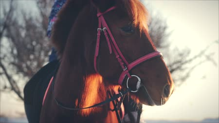 beygir gücü : Beautiful Horse Posing for the Camera, a Horse With a Rider in the Winter at Sunset, Close-Up. Slow Motion. Shooting on Steadicam, the Concept of Wild Nature.