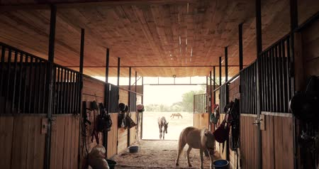 póló : Shooting in the stables, little ponies walk around the stables, looking at the camera. Animal care. Concept of horses and people.